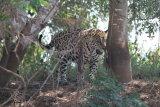 Jaguar eating grass