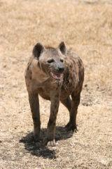 Hyaena drooling