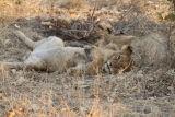 Lion Cub #2
