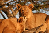 Lion in tree #2