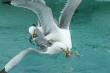 Kittiwakes fighting for fish