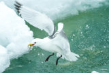 Kittiwake with fish