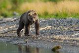 Bear stalking