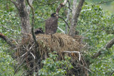 Bald Eagle Juveniles on Nest
