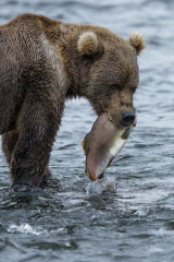 Fishing Bear