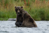 Bears playing in the water