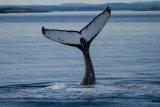 Hump Back Whale Fluke