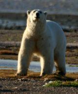 Polar Bear (Back Lit)