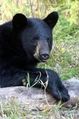 Bear x4