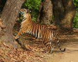 Tiger scent-marking