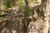 2 Tigers #4