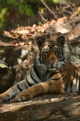 Tiger #9
