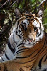 Tiger #10