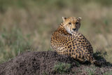cheetah looking over shoulder