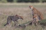 Cheetah family