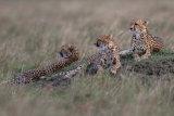 Cheetah's resting