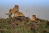 Lion cubs on horizon
