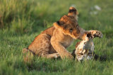 Lion cub playing with skull