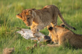 Lion cubs with skull