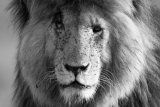 Male lion B&W