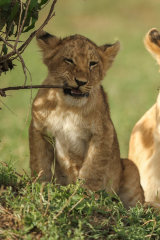 Lion cub eating twig
