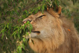 Male lion scent marking