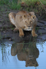 Lioness and reflection
