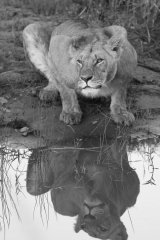 Lioness and reflection B&W