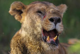 Bloodied lioness