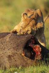 Lioness eating buffalo