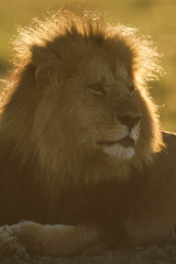 Rim Lit Male lion