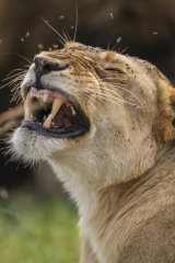 Lioness bothered by flies