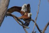 Brahminy kites mating
