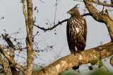 Crested-Hawk Eagle