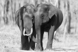 Pair of Indian elephants