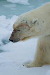 Polar Bear close