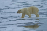 Polar Bear reflexion