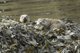 Family of three otters