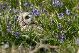 Short-eared owl in bluebells