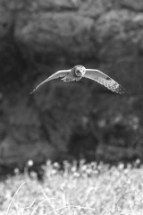 Short-eared owl in flight - black and white