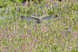 Short-eared owl hovering