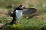 Puffin stretching