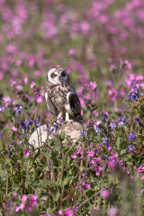 Perched short-eared owl in flowers
