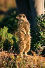 Meerkats (S.Africa)