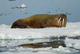 Walrus reflexion