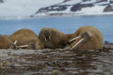 Walrus group in front of mountains