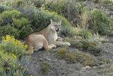 Puma yawning
