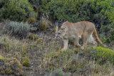 Puma stalking
