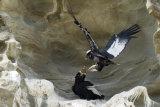 Condor landing on cliffside