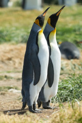 King Penguin mirror